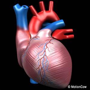 Human heart pumping