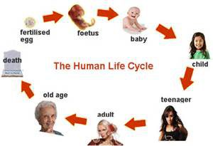 Human cycle of life